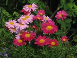 złocień różowy - chrysanthemum coccineum