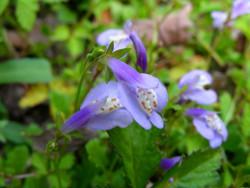 mazus purple - mazus reptans purple