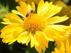 gailardia Mesa Yellow - gaillardia grandiflora Mesa Yellow