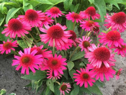 jeżówka Delicious Candy - echinacea Delicious Candy