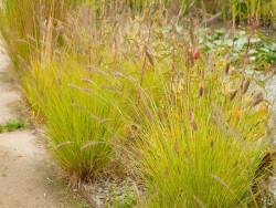 rozplenica Hameln Gold - Pennisetum alopecuroides Hameln Gold