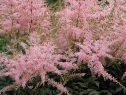 """tawułka japońska - Astilbe japonica """"Peach Blossom"""""""