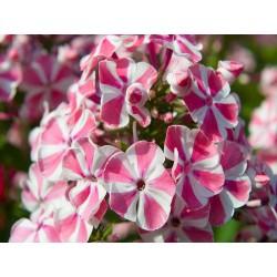 "złocień niski - chrysanthemum maximum ""Silver Princess"""