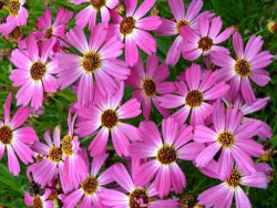 nachyłek Pink Sapphire- Coreopsis Pink Sapphire