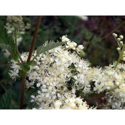 rojnik ogrodowy 6 - sempervivum x hybridum