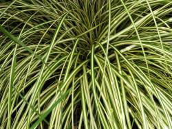 turzyca Evergold - Carex oschimensis Evergold
