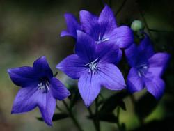 rozwar wielkokwiatowy Astra Blue - platycodon grandiflorus Astra Blue