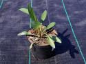 jeżówka Maui Sunshine - echinacea Maui Sunshine