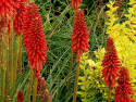 trytoma Redhot Popsicle - kniphofia uvaria Redhot Popsicle