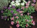 głowienka wielkokwiatowa - prunella grandiflora