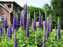 przetacznik Royal Candles - Veronica spicata Royal Candles