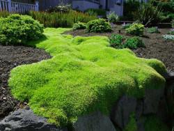 karmnik ościsty Lime Moss - sagina subulata Lime Moss