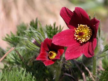 sasanka Rote Glocke - Pulsatilla vulgaris Rote Glocke
