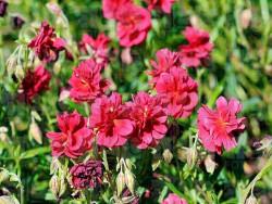 posłonek ogrodowy Cerise Queen - Helianthemum hybrida Cerise Queen