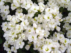 gęsiówka kaukaska Plena - arabis caucasica Plena