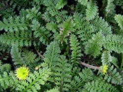 kotula chropowata - cotula squalida