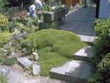 azorella trójwidlasta - Azorella trifurcata