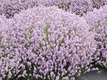 lawenda wąskolistna Rosea - lavandula angustifolia Rosea