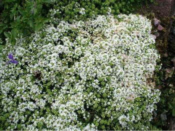 macierzanka piaskowa Albus - thymus serphyllum Albus
