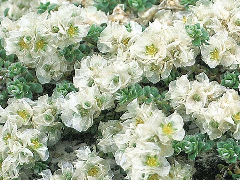 paronychia macierzankolistna - paronychia serpyllifolia