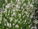 lawenda wąskolistna Alba - lavandula angustifolia Alba