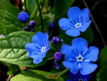 ułudka wiosenna - Omphalodes verna