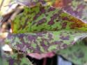 """jastrzębiec plamisty - hieracium maculatum """"Leopard"""""""