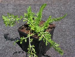 """krwawnik Terracotta - achillea millefolium """"Terracotta"""""""