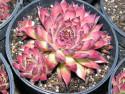 rojnik ogrodowy 8 - sempervivum x hybridum