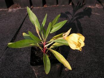wiesiołek missouryjski - oenothera missouriensis