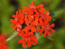 firletka chalcedońska - lychnis chalcedonica