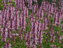kłosowiec Cotton Candy - Agastache Cotton Candy