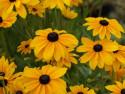 rudbekia Indian Summer - Rudbeckia hirta Indian Summer
