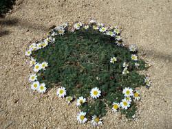 bertram marokański - anacyclus depressus