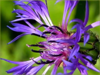 chaber górski - centaurea montana