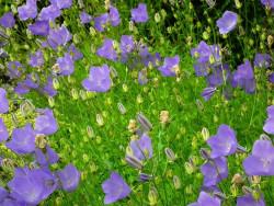 dzwonek karpacki - campanula carpatica
