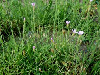 goździcznik skalnicowy - petrorhagia saxifraga