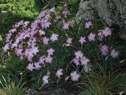 goździk pierzasty - dianthus plumarius