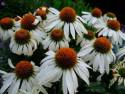 "jeżówka ""White Swan"" - echinacea purpurea ""White Swan"""