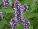 kłosowiec Blue Fortune - Agastache Blue Fortune