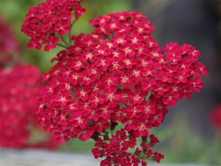 krwawnik pospolity Red Velvet - achillea millefolium Red Velvet
