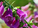 naparstnica purpurowa - digitalis purpurea