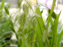 obiedka szerokolistna - uniola latifolia