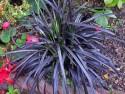 "konwalnik - ophiopogon planiscapus ""Nigrescens"""
