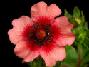 pięciornik nepalski - potentilla nepalensis