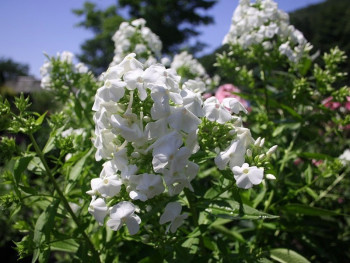 płomyk David - Phlox paniculata David