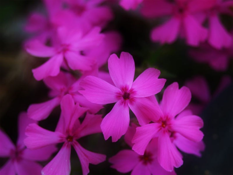 "płomyk szydlasty - phlox subulata ""Red Wings"""
