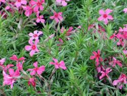 """płomyk szydlasty - phlox subulata """"Scarlet Flame"""""""