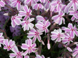 płomyk szydlasty Candy Stripe - phlox subulata Candy Stripe