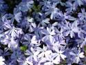 płomyk szydlasty Emerald Blue - phlox subulata Emerald Blue
